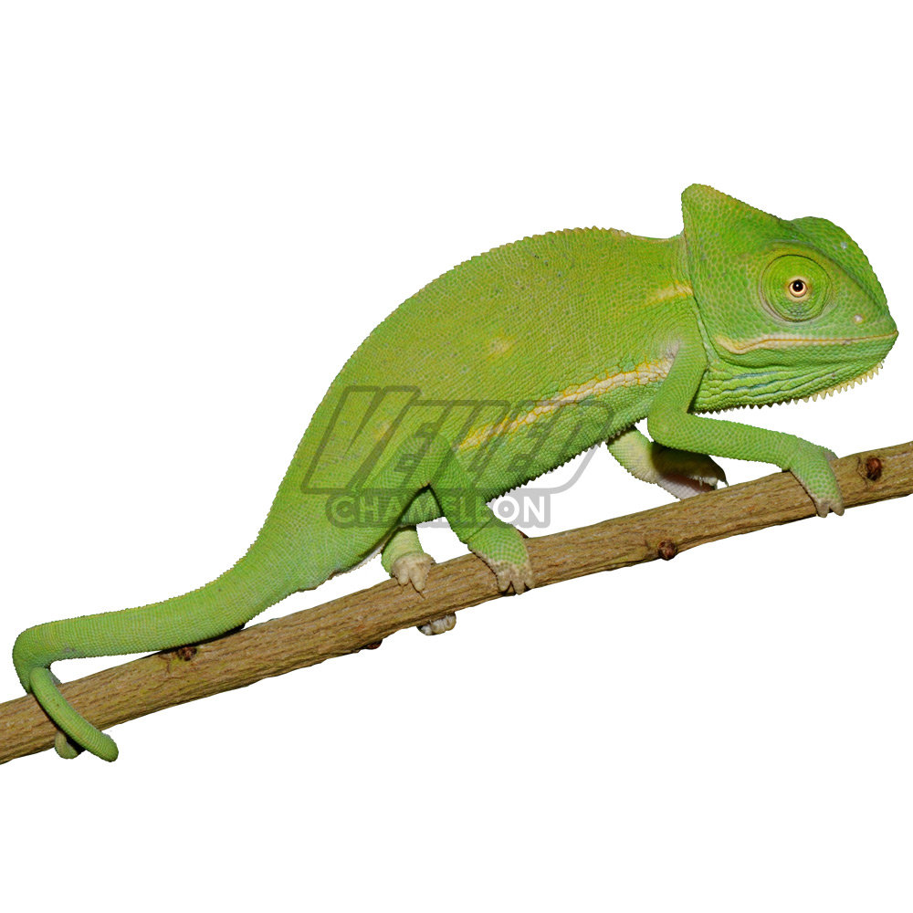 Baby Veiled Chameleon For Sale