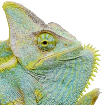 Sub Adult Veiled Chameleon