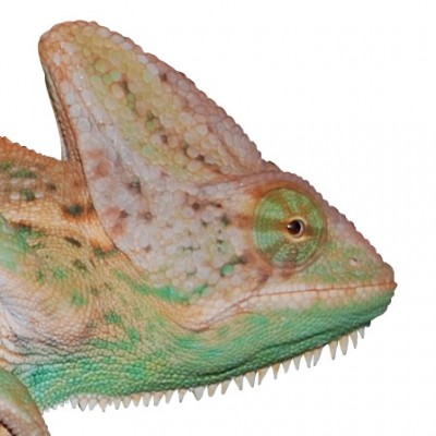Premium Sub-Adult Orange Veiled Chameleon