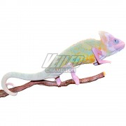 Sub Adult Translucent Veiled Chameleon